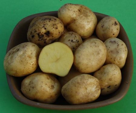 Sadbové brambory belana